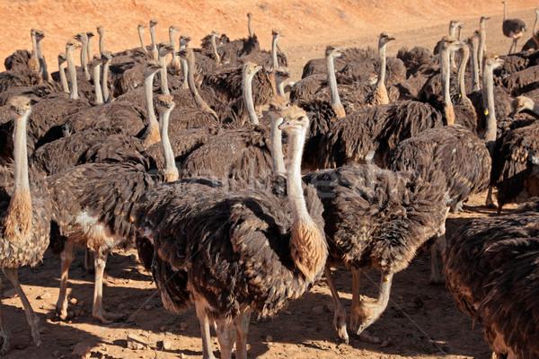 ダチョウ ファーム 地域 西部 南アフリカ 鳥 ストックフォト © EcoPic