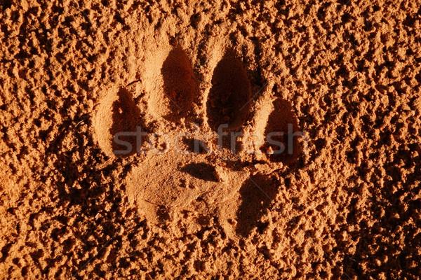 Oroszlán mancs lenyomat érett puha homok Stock fotó © EcoPic