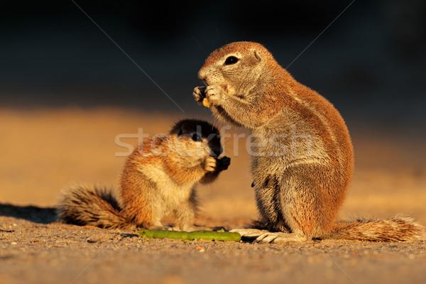 Sol écureuils fin après-midi lumière Photo stock © EcoPic