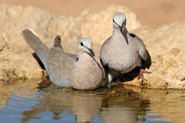 Cape turtle doves Stock photo © EcoPic