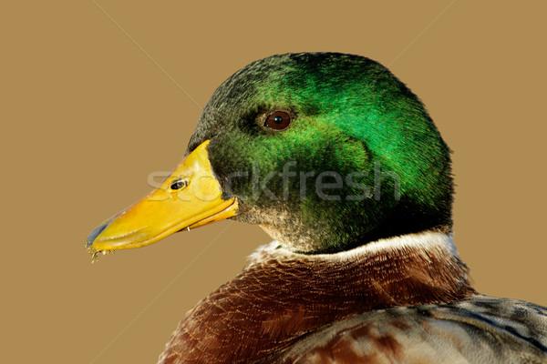 Male Mallard duck Stock photo © EcoPic