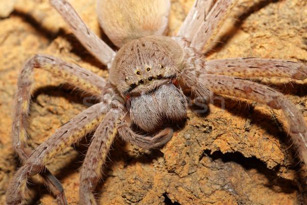Pók portré közelkép szőrös nagy természet Stock fotó © EcoPic