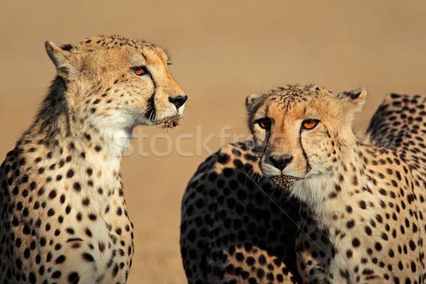 Gepárd portré kettő sivatag Dél-Afrika macska Stock fotó © EcoPic