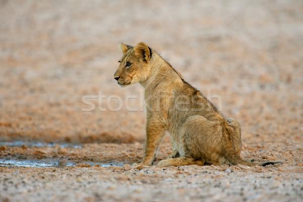 Oroszlán medvebocs fiatal sivatag Dél-Afrika természet Stock fotó © EcoPic