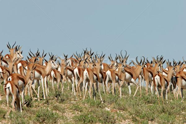 Springbok herd Stock photo © EcoPic