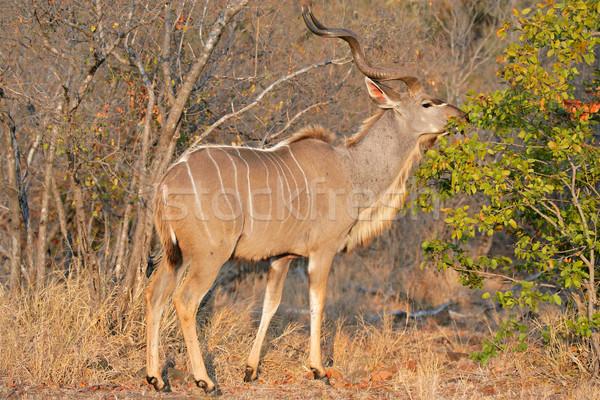 Feeding Kudu antelope Stock photo © EcoPic