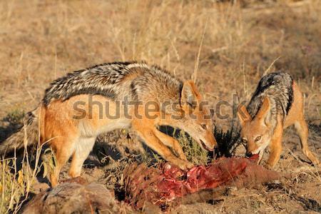 African leone preda gamba animale Sudafrica Foto d'archivio © EcoPic