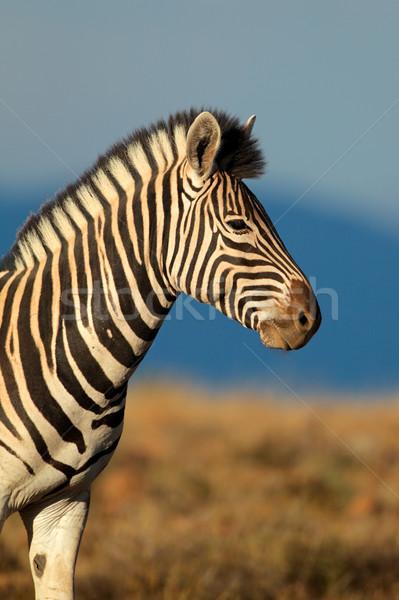 Zebra retrato África do Sul cara olhos Foto stock © EcoPic
