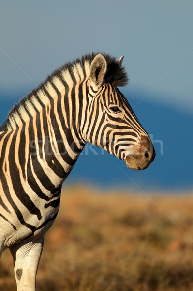 Zebra portret South Africa gezicht ogen Stockfoto © EcoPic
