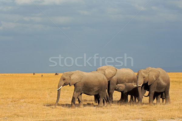 African elephants in grassland Stock photo © EcoPic