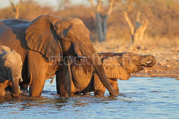Elephants drinking water Stock photo © EcoPic