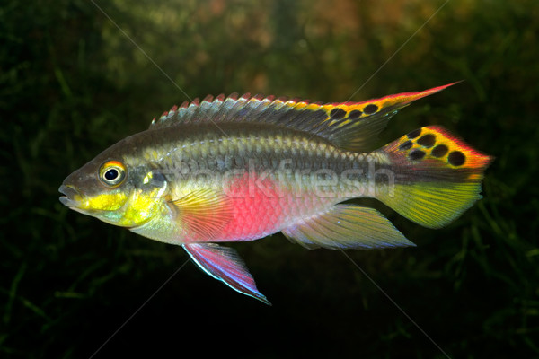 Kribensis (Purple Cichlid) Stock photo © EcoPic