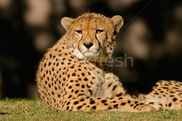 Cheetah Stock photo © EcoPic
