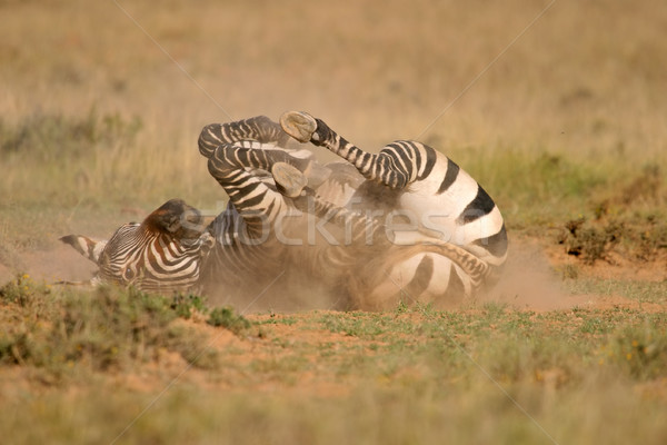 Cape Mountain Zebra  Stock photo © EcoPic
