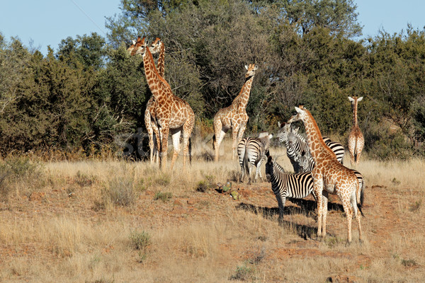 Giraffes and zebras Stock photo © EcoPic