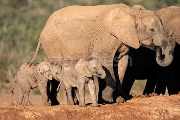 African elephant with calves Stock photo © EcoPic