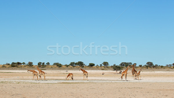 Giraffes at waterhole Stock photo © EcoPic
