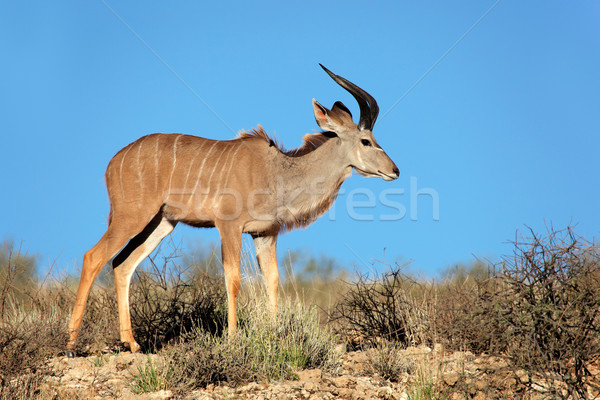 Kudu antelope Stock photo © EcoPic