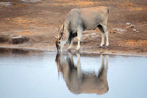 Eland antelope drinking water Stock photo © EcoPic