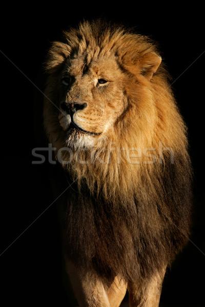ビッグ 男性 アフリカ ライオン 肖像 黒 ストックフォト © EcoPic