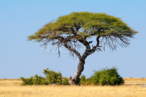 Thorn tree landscape - Etosha Stock photo © EcoPic