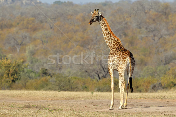 Giraffe Stock photo © EcoPic