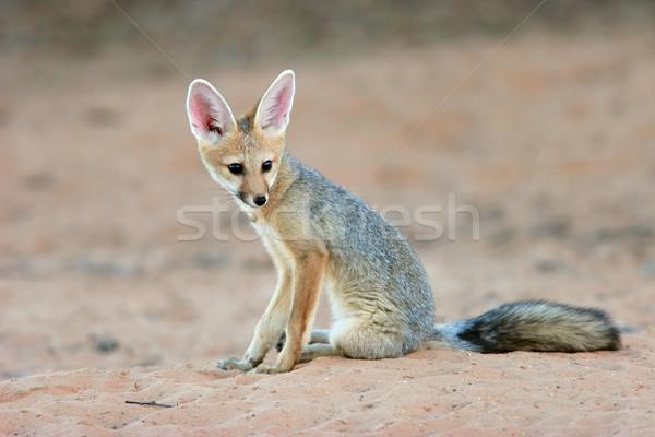 Cape fox Stock photo © EcoPic