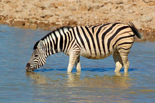 平野 シマウマ 飲料 飲料水 公園 ナミビア ストックフォト © EcoPic