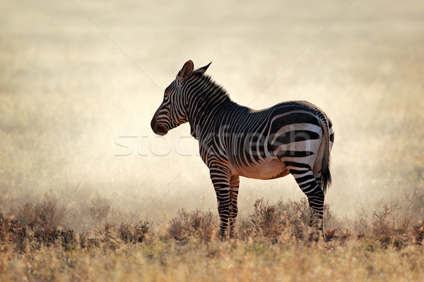 Mountain Zebra in dust Stock photo © EcoPic