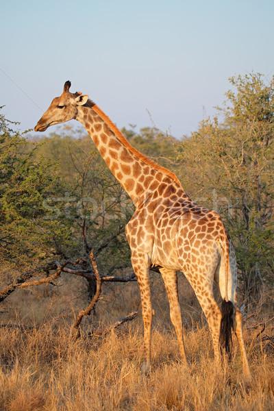 Zürafa doğal yetişme ortamı Güney Afrika doğa ağaçlar Stok fotoğraf © EcoPic