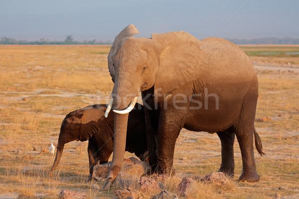 Afrikai elefánt tehén fiatal park Kenya természet Stock fotó © EcoPic
