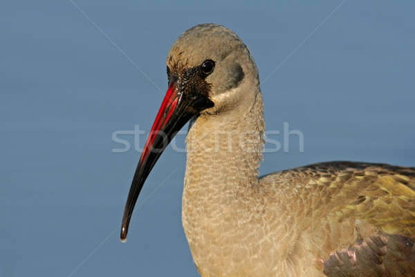 Hadeda Ibis portrait Stock photo © EcoPic