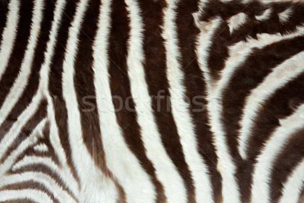 Zebra skin Stock photo © EcoPic