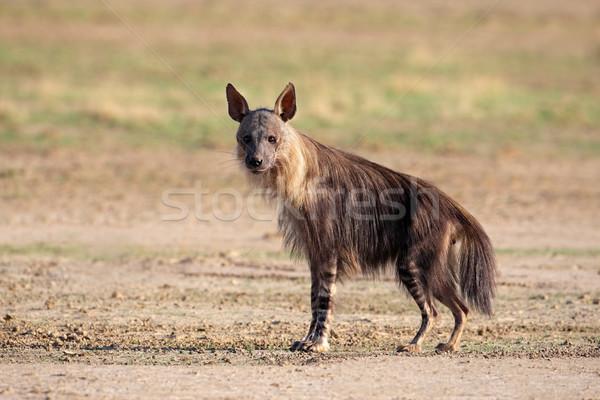 Braun Hyäne Wüste Südafrika Park african Stock foto © EcoPic