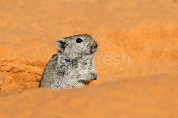 Whistling rat  Stock photo © EcoPic