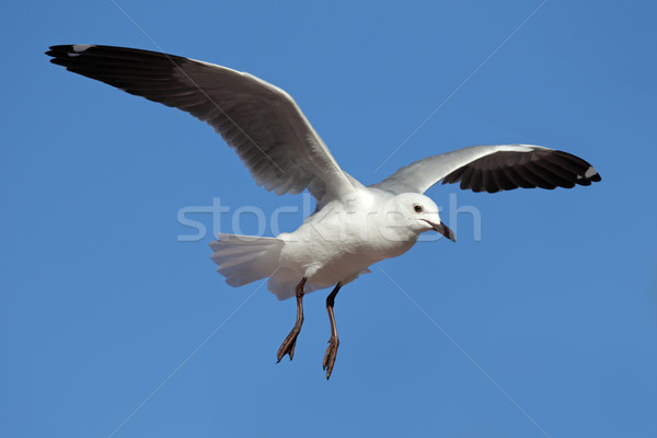Hartlaub's gull Stock photo © EcoPic