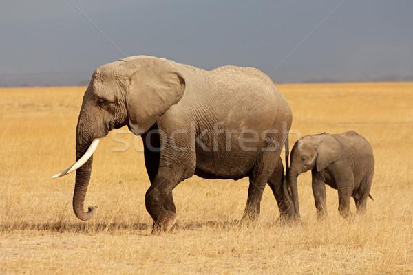 Afrika fil inek genç park Kenya doğa Stok fotoğraf © EcoPic