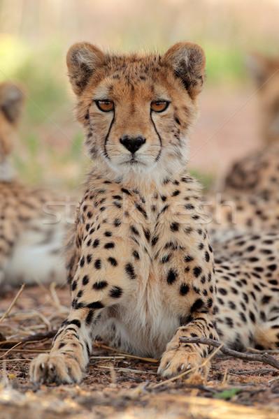 Alertar leopardo deserto África do Sul gato retrato Foto stock © EcoPic