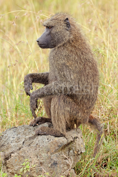 Olive baboon Stock photo © EcoPic