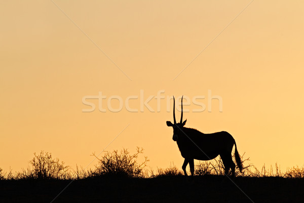 Gemsbok silhouette Stock photo © EcoPic