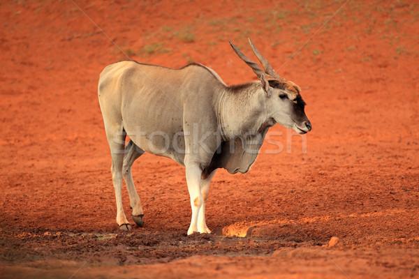Stock photo: Eland antelope