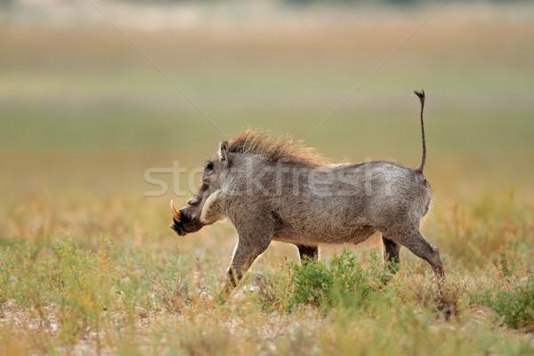 Warthog running Stock photo © EcoPic