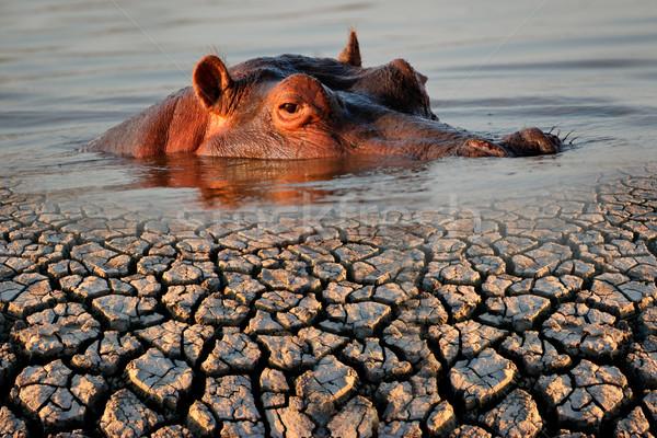 Nijlpaard droogte gevolg opwarming van de aarde aarde Stockfoto © EcoPic