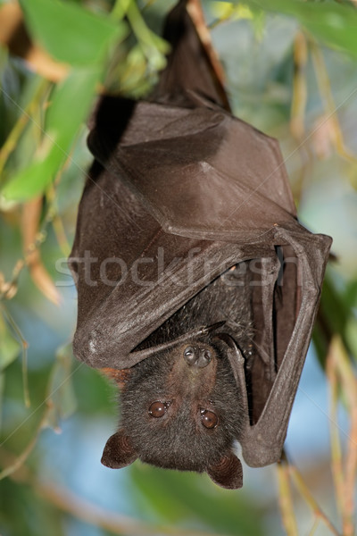 Black flying-fox Stock photo © EcoPic