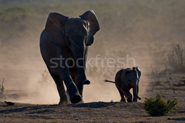 Elephants in dust Stock photo © EcoPic