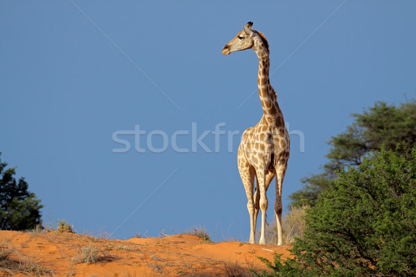 жираф песчаная дюна ходьбе пустыне ЮАР природы Сток-фото © EcoPic