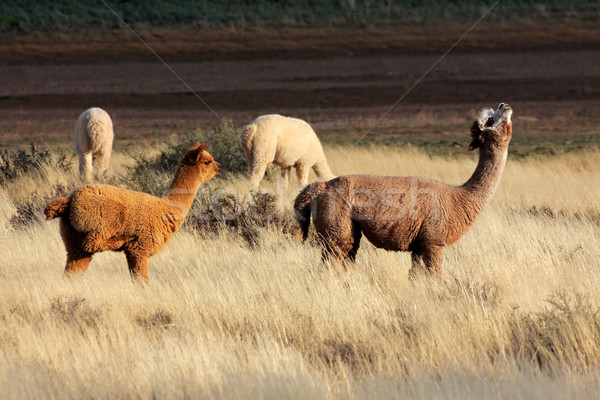 Alpacas (Vicugna pacos) Stock photo © EcoPic