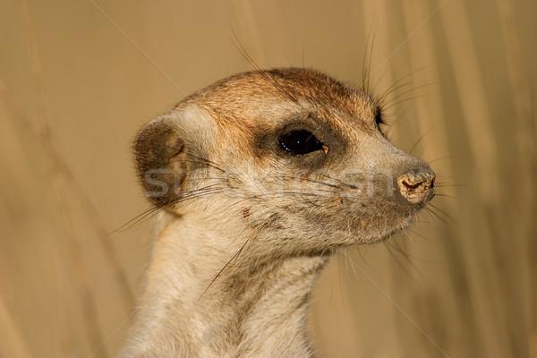 Meerkat portrait Stock photo © EcoPic