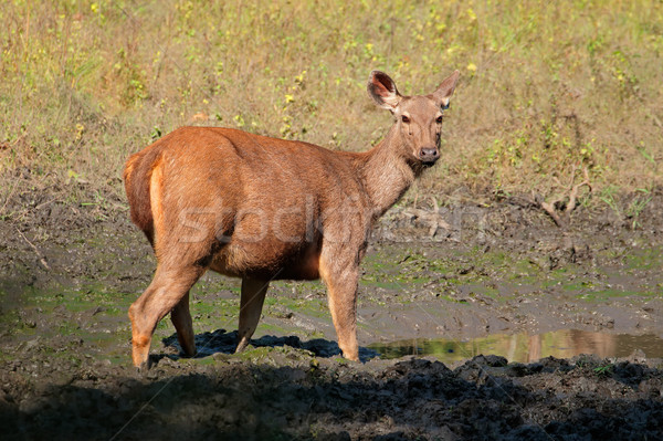 Vrouwelijke herten park Indië natuur dier Stockfoto © EcoPic