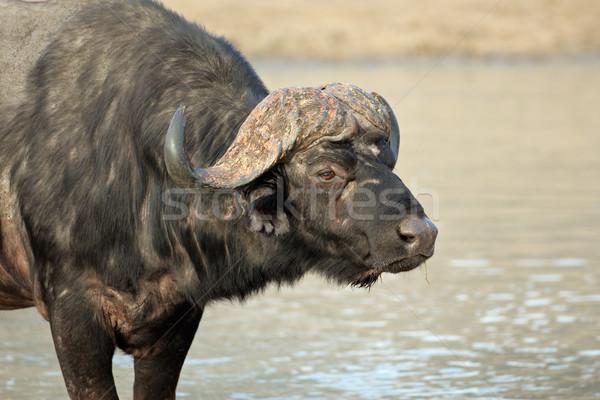 African buffalo portrait Stock photo © EcoPic